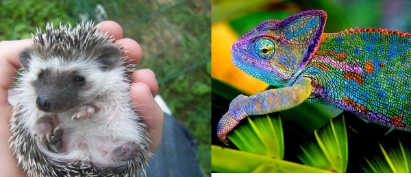 hedgehog and chameleon